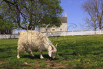 Sheep grazes in pasture in front of Old Stone Shop at Shaker Village of Pleasant Hill, Harrodsburg, Kentucky