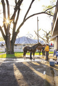 Groomers tend to thoroughbreds during early morning workout at Keeneland Race Course, Lexington, Kentucky