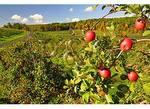 Ripe apples in an orchard, Cashtown, Pennsylvania