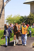 A thoroughbred is walked through the paddock before a race at Keeneland Race Course, Lexington, Kentucky
