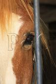 Draft horse in stall at Kentucky Horse Park, Lexington, Kentucky