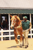 Handler leads draft horse around arena during Parade of Breeds, Kentucky Horse Park, Lexington, Kentucky
