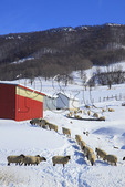 Sheep on Farm in Blue Grass Valley, Shenandoah Valley, Blue Grass, Virginia, USA