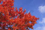 Fall foliage along Blue Ridge Parkway near Tye River, Virginia