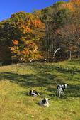 Cows in meadow along Blue Ridge Parkway near Tye River, Virginia