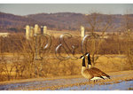 Canadian Geese, Middle Creek Wildlife Management Area, Schaefferstown, Pennsylvania