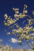Spring Bloom, Apple Orchard, Crozet, Albemarle County, Virginia