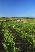 Young corn on farm near Dayton in the Shenandoah Valley, Virginia