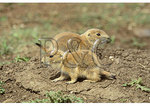 Prairie Dog Pups, Roberts Prairie Dog Town, Badlands National Park, Rapid City, South Dakota