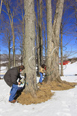 Install Tubing, Maple Sugar Farm, Hightown, Virginia