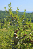 Dickie Brothers Apple Orchard at Massies Mill, Nelson County, Virginia