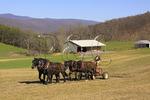 Team of Percheron Horses Harrowing, Middlebrook, Virginia