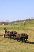 Team of Percheron Horses Harrowing, Middlebrook, Virginia