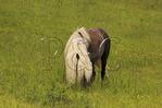 Wild horse along Appalachian Trail, Grayson Highlands State Park, Virginia