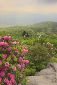 Rhododendron along Appalachian Trail at Morning,  Mount Rogers National Recreation Area, Virginia