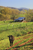 Cows and barn, Roseland, Nelson County, Virginia