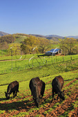Cattle and barn, Roseland, Nelson County, Virginia