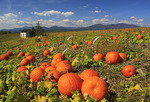 Pumpkin Patch at Seaman Orchard in Roseland, Nelson County, Virginia