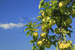 Apples at Seaman Orchard in Roseland, Nelson County, Virginia
