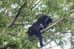 Black bear eating acorns in oak tree on Skyline Drive north of Big Meadows, Shenandoah National Park, Virginia