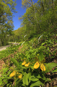 Yellow Lady Slippers along Skyline Drive, Shenandoah National Park, Virginia