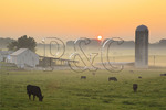 Cattle on farm at sunrise in Springhill, shenandoah valley, virginia