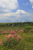 Wild Pink Azaleas, Dolly Sods Wilderness Scenic Area, Hopeville, West Virginia