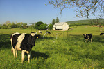 Cows, Cavetown, Maryland