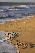 Shorebirds on the beach at Sunrise at Cape Hatteras National Seashore, Outer Banks, Buxton, North Carolina, USA