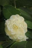 Close up of white Camellia blossom, Elizabethan Gardens, Manteo, Roanoke Island, North Carolina, USA