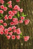 Azaleas with tree, Elizabethan Gardens, Manteo, Roanoke Island, North Carolina, USA