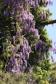 Wisteria, Elizabethan Gardens, Manteo, Roanoke Island, North Carolina, USA