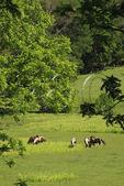 Horses in pasture at Edge Grove Farm in Loudoun County near Purcellville, Virginia, USA