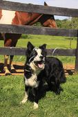 Australian Shepherd greets visitors at Edge Grove Farm in Loudoun County near Purcellville, Virginia, USA