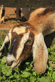 Goat with head through fence munches on grass at Temple Hall Regional Park, Leesburg, Virginia, USA