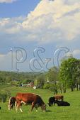 Cattle grazing on farm in Arborhill, Shenandoah Valley, Virginia, USA