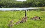 Family of Canadian Geese at Spruce Knob Lake, Spruce Knob-Seneca Rocks National Recreation Area, Judy Gap, West Virginia, USA