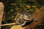 Painted Turtle at Virginia Aquarium and Marine Science Center, Virginia Beach, Virginia, USA