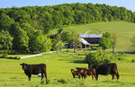 Cattle grazing on farm near Middlebrook in the Shenandoah Valley, Virginia, USA