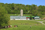 Cattle grazing on farm in Buckeystown, Maryland, USA