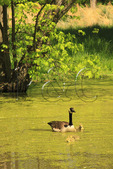 Geese on pond at Gambrill Mill Visitors Center, Monocacy National Battlefield Park, Frederick, Maryland, USA