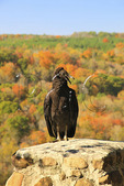 Vulture perched on overlook at Buck's Pocket State Park, Grove Oak, Alabama, USA
