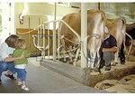 Milking cows at Billings Farm & Museum, Woodstock, Vermont