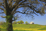 Great Old Tree, Stephens City, Shenandoah Valley, Virginia, USA