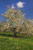 Apple Blossoms, Stephens City, Shenandoah Valley, Virginia, USA