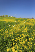 Blooming Mustard, Stephens City, Shenandoah Valley, Virginia, USA