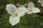 Trillium Bloom along Appalachian Trail, Shenandoah National Park, Virginia, USA
