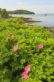 Wild Roses, Bar Harbor Shore Path, Bar Harbor, Mount Desert island, Maine, USA