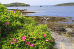 Wild Roses, Bar Harbor Shore Path, Bar Harbor, Mount Desert island, Maine, USA