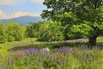 Lupine, Sugar Hill, White Mountains, New Hampshire, USA